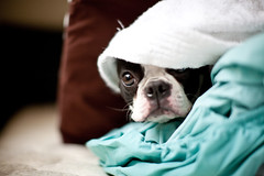 IMG_5924 (LindseyBaker) Tags: dog bostonterrier eenie