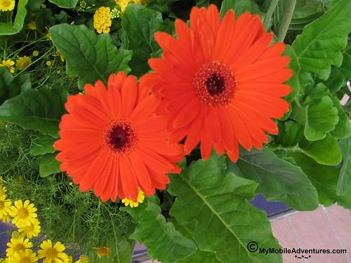 IMG_1684-WDW-EPCOT-flowers