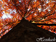 Autumn Oak (hexihash) Tags: old blue autumn red sky brown color tree fall beautiful up leaves yellow season point fire photography leaf oak colorful warm view bright under down coloring colored feeling patch beneath patches brownish firey redish platinumphoto treesubject flickrdiamond rubyphotographer hexihash