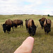 Please, Do Not Poke the Bison