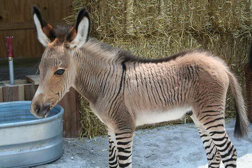 zonkey 斑驢