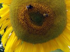 Sonnenblume mit Hummel und Biene (cammino) Tags: sonnenblume