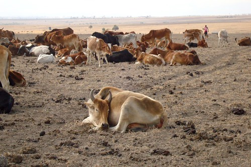 Llivestock in the current kenya drought
