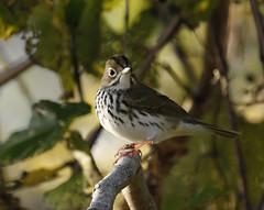 An Ovenbird (Seiurus swainsonii) (rivadock4) Tags: maryland westriver woodthrush impressedbeauty impressedbyyourbeauty avianexcellence overbird seiurusswainsonii