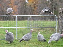 Turkeys! (jnoc) Tags: massachusetts montague paperroute montaguereporter