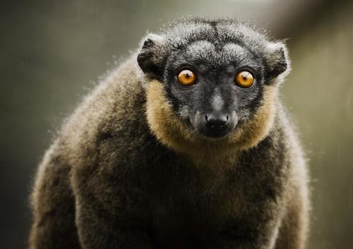 フリー画像| 動物写真| 哺乳類| 猿/サル| キツネザル| エリクビキツネザル|      フリー素材|
