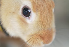 Through My Eyes ^-^ ( Spice (^_^)) Tags: camera pet color macro cute bunny eye art animal japan closeup canon fur geotagged nose photography eos japanese photo interesting october flickr image little photos conejo small picture adorable blogger minimal explore photograph  portfolio mustache vox companion coelho lapin easterbunny  gettyimages facebook friendster coniglio multiply macrolens   10 fiatlux      twitter   netherlanddwarfrabbit  canoneos7d   2009    hybridis ef100mmf28lmacroisusm imagemonster