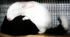 Sleeping Chinchilla Embrace (wisely-chosen) Tags: sleeping october spooning midnight chinchillas lightning 2009 cuddling picnik snuggling adobephotoshopcs4 pinkwhitechinchilla extradarkebonychinchilla