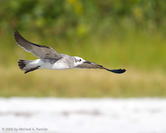 Gliding Along the Shore (Michael Pancier Photography) Tags: usa beach nature birds florida seagull shoreline coastal birdsinflight leecounty seor shorebirds fortmyers fortmyersbeach southwestflorida laughinggull bunchebeach floridaphotographer michaelpancier michaelpancierphotography avianphotography landscapephotographer eos7d floridaavianphotography leecountypark wwwmichaelpancierphotographycom seorcohiba floridabirdsbirdsofflorida