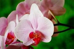 Orquídea (Marcelo M P Mariano) Tags: flores macro minasgerais brasil foto sp e clube nikonf80 fotoclube suldeminas fisp fujicolorprovalue200 afsvrzoomnikkor70300mmf4556gifed itajubámg wwwmarcelompmarianocombr