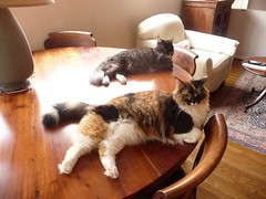 Kayla & Dusty on the Table, Take 1 (Philosopher Queen) Tags: cats dusty pose chats funny fluffy gatos calico kitties kayla blacksmoke doublebeauty