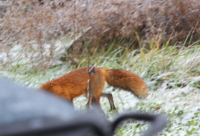 11-17-foxy