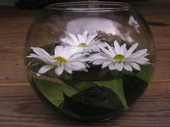 New Hampshire Floral Designer - Lotus Floral Designs (PrepareToWed) Tags: daisies daisy glassbowl glassglobe floatingdaisy weddingcenterpiece floatingdaisies lotusfloraldesigns newhampshireflorist newhampshirefloraldesigner newhampshirefloraldesigns nhfloraldesigns nhfloraldesigner nhflorist
