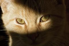 Ojos de Gato-Cat's eyes (Juan Antonio Cap) Tags: shadow pet cat eyes kat chat sombra ojos gato katze mace  gatto  mascota kot gat koka kedi miau kissa kttur maka kucing pusa mo moix       pisic
