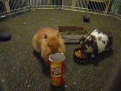 Pablo vs. Slim Jim can (Maleah Tidmore) Tags: pablo buster rabbits lionhead minilop slimjim