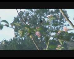 Cinnyris sovimanga sovimanga (Souimanga Sunbird) (Arthur Chapman) Tags: birds video aves madagascar ranomafana birdcall cinnyris taxonomy:order=passeriformes taxonomy:class=aves taxonomy:kingdom=animalia taxonomy:phylum=chordata souimangasunbird cinnyrissovimanga geocode:accuracy=2000meters geocode:method=googleearth geo:country=madagascar taxonomy:family=nectariniidae taxonomy:genus=cinnyris taxonomy:binomial=cinnyrissovimanga taxonomy:common=souimangasunbird sovimanga cinnyrissovimangasovimanga taxonomy:trinomial=cinnyrissovimangasovimanga