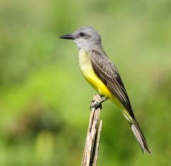 [フリー画像] [動物写真] [鳥類] [野鳥] [オリーブタイランチョウ]       [フリー素材]
