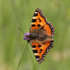 Small Tortoiseshell (Aglais urticae) (bayucca (busy)) Tags: butterfly schweiz switzerland butterflies insects lepidoptera papillon borboleta mariposa aglaisurticae farfalla insekten smalltortoiseshell schmetterlinge emmental aglais kleinerfuchs nymphalidae nymphalis nymphalisurticae buchrain knautiaarvensis grnenmatt specinsect wiesenskabiose taxonomy:binomial=aglaisurticae wiesenwittwenblume nhkissenchen wwwnkisinfoflickr0066z9367