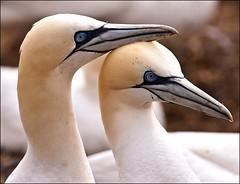 Gannets (JohnFinn) Tags: wexford gannet saltees