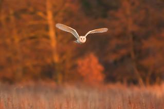 Barn Owl, Papercourt Meadows