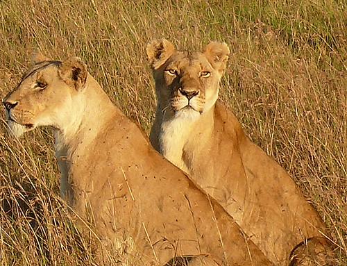 Lions dans le Masaï-Mara au Kenya.