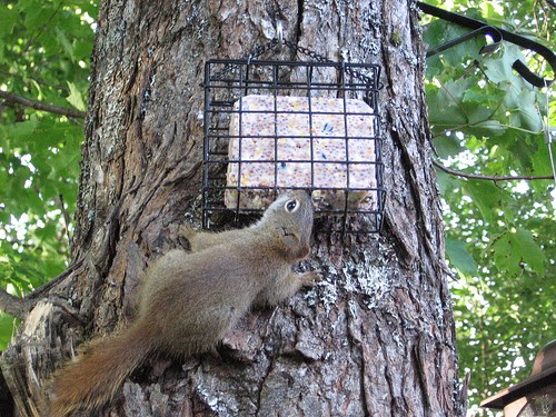 Mischief-making squirrel eating suet bird feeder.