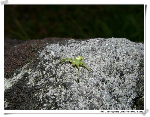 Unidentified green spider