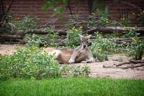 gq kangaroo .