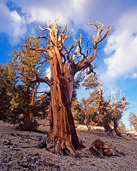 Nearly Gone But Never Forgotten (Lightchaser) Tags: california trees clouds mediumformat landscapes sunsets whitemountains easternsierras fujivelvia inyonationalforest transparencyfilm ancientbristleconepineforest absolutelystunningscapes abp09100 395scenichighway nearlygonebutneverforgotten oldesttreesonearth