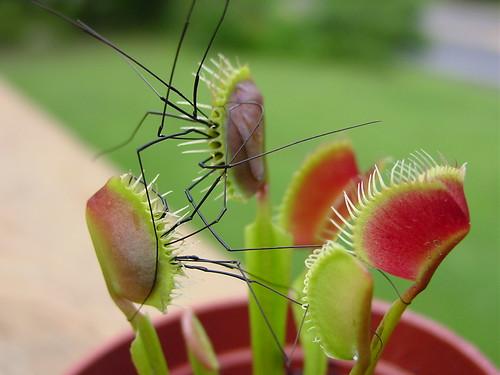 Thumb Planta carnívora Venus Atrapamoscas versus Araña de Patas Largas
