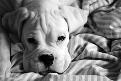 Hes got the look (Grymfoting) Tags: dog pet puppy sweden canine hund boxer sverige husdjur vito hsselby valp boxeador vit whiteboxer pugile boxejador  snowyboxer vitboxer snowboxer vithund hjltehund shoestringsbezzerweiss shoestringskennel solidwhiteboxer vitothewhiteboxer