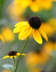 Just like a dream (lynne_b) Tags: park flower nature forest petals illinois grove bloom rudbeckia wildflower meachamgrove