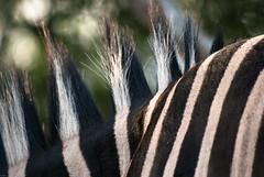 Rayures et crête (orang_asli) Tags: africa nature animals sunrise southafrica mammal nationalpark champs zebra fields lieux leverdesoleil afrique mammifère période aficionados faune hluhluwe bushveld naturel zèbre afriquedusud savane parcnational géographie gographie zbre priode mammifre