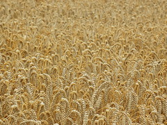 Wheatfield Wallpaper (basswulf) Tags: uk wallpaper england yellow gold lenstagged corn wheat harvest gimp broughton oxfordshire 43 digitaldarkroom d40 camerasetting:aperture=f8 vivitar90mmf25macro permissions:licence=c 2400x1800 200908 image:ratio=43 20090824 releaseaiweiwei