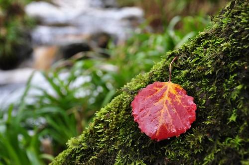 Autumnal Aspen leaf