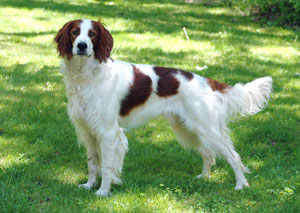 sm_irish_red_white_setter