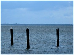 Got gulls? (vicipix) Tags: seagulls beach nature birds gulls northcarolina outerbanks outerbanksnc outerbanksnorthcarolina
