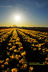 Tulip Beams (Gary Grossman (traveling for business)) Tags: flowers sun sunshine yellow oregon golden tulips blossoms rays streaks sunrays willamette sunbeams woodburn goldensun colorphotoaward tuliprows