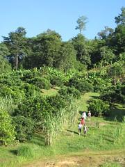 Looking back at the banana farm