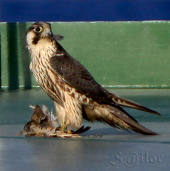 """Peregrine Falcon"" Pirate with Prey  ""Duck Hawk"" (S@ilor) Tags: bird golf waters prey pirat aden peregrinefalcon duckhawk mywinners silor piratewithprey"