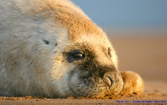 Life's a beach... (law_keven) Tags: england baby beach animal sand furry lincolnshire pup grimsby greyseal sealpup donnanook explore500 lilnugget babygreyseal