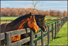 Sunday Afternoon Visitors (GFletch -- persistently behind :)) Tags: autumn horses brown black green fall fence virginia afternoon walk sunday loudoun bluemont canonef28135is anawesomeshot impressedbeauty canon40d