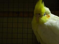 pets birds nikon cage coolpix cockatiel parrots s220