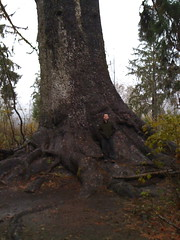 Yancy w/world's largest Sitka Spruce
