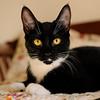 Daisy (NikonJim) Tags: portrait blackandwhite pet cat kitten feline tuxedo daisy shelter adopted dsh d300 impressedbeauty 2470mmf28g vosplusbellesphotos nikonjim