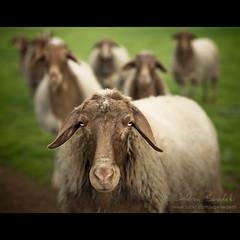 wazaap?!? () Tags: light portrait andy field grass animals branco sheep farm andrea andrew sguardo erba campo gaze herd ritratto animali luce grazing pecore benedetti fattoria flickrsbest thelittledoglaughed nikond90 pascolando