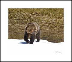 _MG_0414E (Ralston Images) Tags: bear park brown animal canon silver wildlife tip national yellowstone grizzly ursus arctos horribilis jrphotography jasonralstonphotography