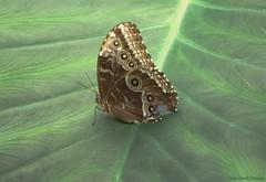 Blue Morpho Butterfly (vbd) Tags: butterfly ma pentax butterflies bluemorphobutterfly magicwingsbutterflyconservatory southdeerfieldma k200d ctflickrmeetup