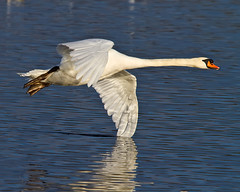 Swan, Wing stand on water (Andrew Haynes Wildlife Images ( away for a while )) Tags: bird nature swan wildlife feathers ripples warwickshire brandonmarsh canon7d ajh2008
