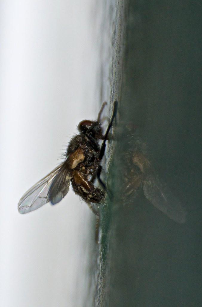 cadáver de mosca